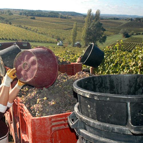 Récolte de raisin, Bergerac en Périgord pourpre